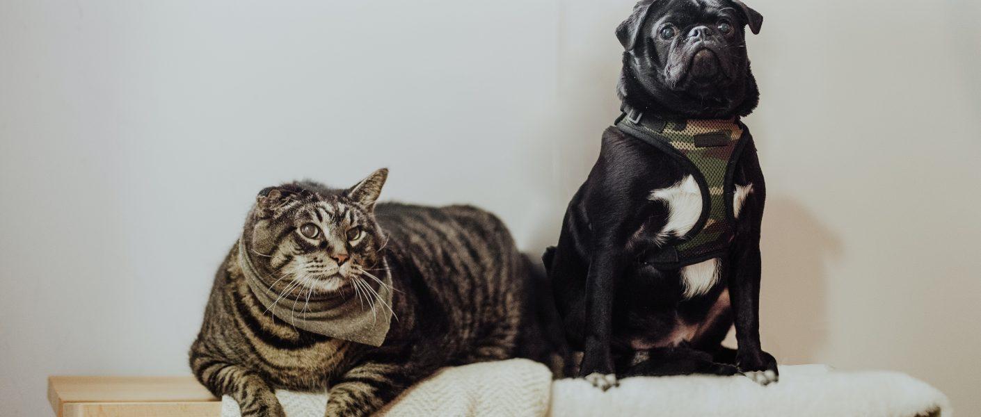Welk huisdier past beter bij mijn leefstijl: een hond of kat?